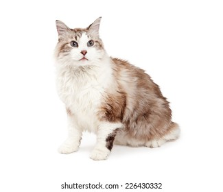 An attentive Ragdoll Cat sitting at and angle looking off to the side.