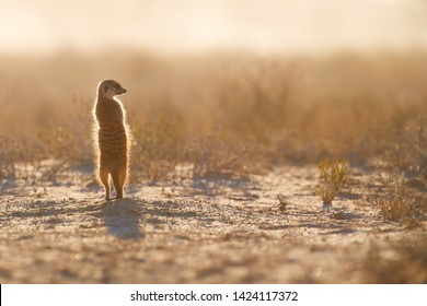 Attentive small Meerkat, Suricata suricatta, closely watching surroundings in freezing morning of Kalahari desert. Low angle photo.  Wildlife photo of backlighted suricate, southern Africa