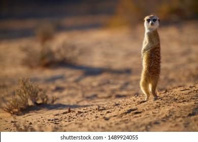 Attentive small Meerkat, Suricata suricatta, closely watching surroundings in freezing morning of Kalahari desert. Low angle photo.  Wildlife photo of backlighted suricate, southern Africa