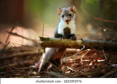 Attentive Stone Marten, Martes foina, standing on rear legs, staring at camera. Typical environment of spruce forest. Low angle photo, blurred nature background. Europe.