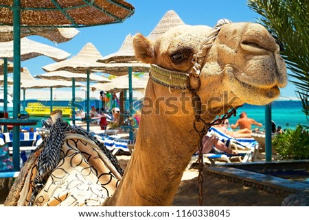 Attraction of the beach at the Bella Vista Resorte in Hurghada - camel.