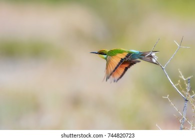 Attractive bird, Swallow tailed bee eater, Merops hirundineus in fly with orange wings and bright green and blue body.