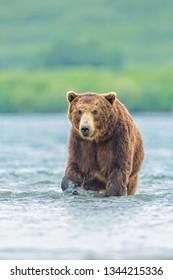 attractive brown bear portrait in water fishing salmons in Kamchatka