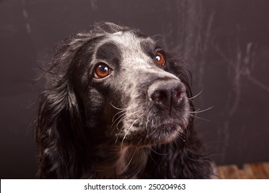 Attractive, cute dog, spaniel on a white background