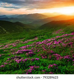 attractive dawn mountains landscape with flowering rhododendron summer flower, amazing colorful scene, fantastic sunrise dramatic sky on valley, Europe travel, Ukraine