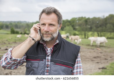 Attractive farmer in field of cattle using a smartphone
