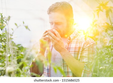Attractive farmer smelling the quality of his ripe organic tomatoes in his greenhouse with yellow lens flare in background