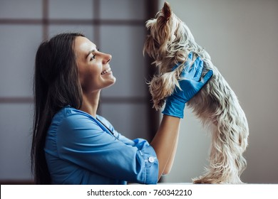 Attractive fmale doctor veterinarian at clinic is examining little dog Yorkshire Terrier.