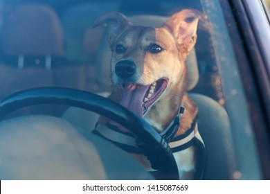 Attractive happy ginger mixed breed dog in car protected by seat belt. Pets summer vacations, travel and care concept. Copy space background.