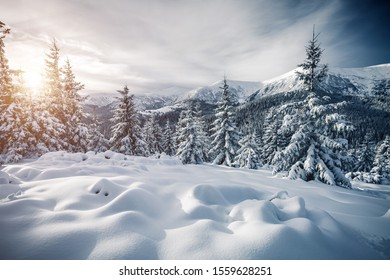 Attractive image of spruces covered in snow. Frosty day, exotic wintry scene. Location place Carpathian national park, Ukraine, Europe. Perfect winter nature wallpapers. Happy New Year! Beauty world.