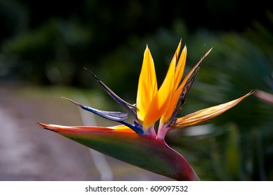 Attractive and intensely colored exotic plant of Mediterranean coastline. strelitzia flower or bird of paradise flower.