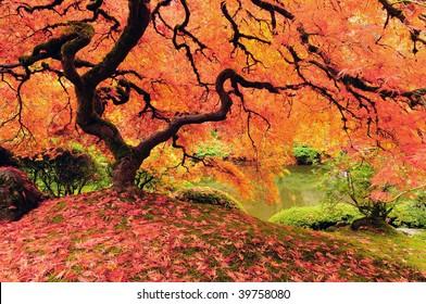 Attractive Japanese maple tree in full autumn glory