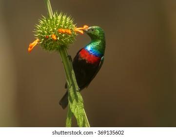 Attractive Mariqua Sunbird Cinnyris mariquensis, african nectar feeding bird,glossy, metallic cyan head, bright red band across the chest,feeds on nectar. Orange flower, abstract background.
