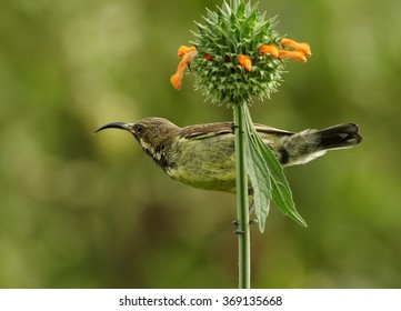 Attractive Mariqua Sunbird Cinnyris mariquensis, female,african nectar feeding bird, green and yellow plumage, perched on stem of orange flower, staring at camera. Abstract green background.