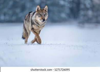attractive portrait of wolf in snow, wolf running in winter landscape