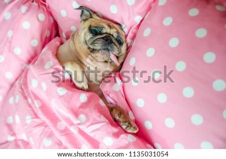 Attractive Puppy Pug Dog Sleeping Rest Stock Photo Edit Now Simple Dog Sleep Pattern