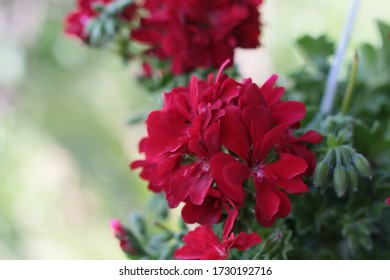 Attractive red sardinia flower in the garden