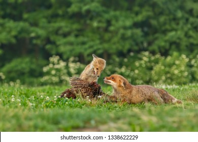 attractive scene with two foxes feeding o pheasant prey