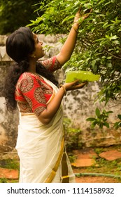 Attractive and simple Kerala/Indian/Asian girl/woman in traditional set saree plucks flowers for temple use or for Onam celebration