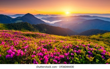Attractive summer sunset with pink rhododendron flowers. Location place Carpathian mountains, Ukraine, Europe. Vibrant photo wallpaper. Image of exotic landscape. Discover the beauty of earth. - Shutterstock ID 1936044430