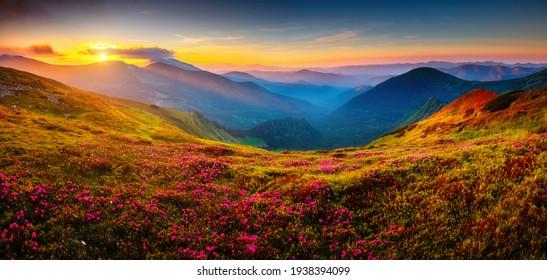 Attraktiver Sommersonnenuntergang mit rosafarbenen Rhododendren-Blumen. Ort Karpaten Berge, Ukraine, Europa. Lebendiges Foto-Bildschirmhintergrund. Bild der exotischen Landschaft. Entdecken Sie die Schönheit der Erde.