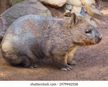 Attractive Winning Chunky Southern Hairy-Nosed Wombat Enjoying the Sunshine.