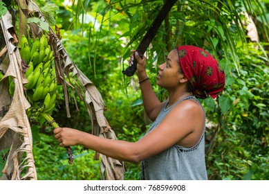 Attractive young woman harvesting green bananas in the caribbean