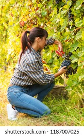 Attractive young woman picking bunches of grapes in a winery vineyard during harvesting in autumn crouching down to snip off the bunch