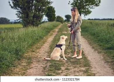 Attractive young woman teaching her dog to an obedient golden Labrador on a walking harness and lead in a country landscape on a farm track
