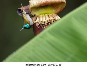 Attractive,Green-headed Sunbird,Cyanomitra verticalis,african nectar feeding bird,glossy, green head,yellow body,hanging upside down on banana flower in hot african day.Blurred dark green background.