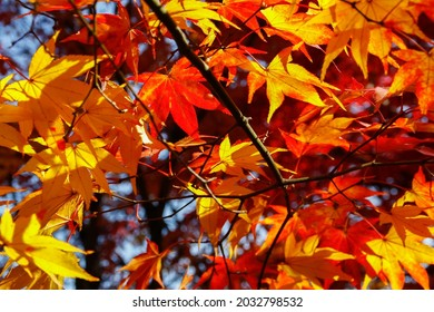 Atumn fall leaves with red, orange and yellow tones, in Kyoto, Japan