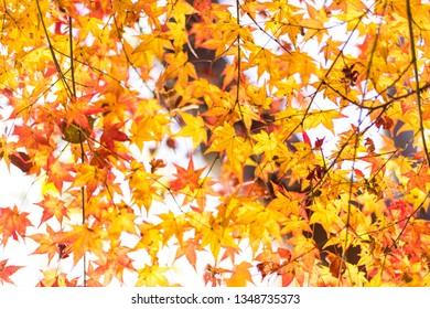 atumn yellow leaves