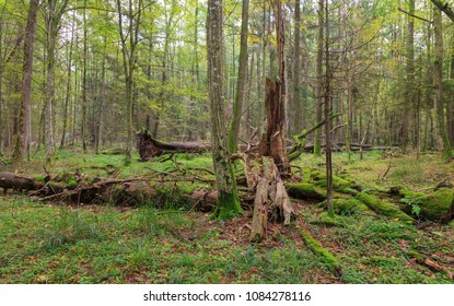 Atumnal landscape of deciduous stand with spruce trees stump and old oak trees in background moss wrapped, Bialowieza Forest, Poland, Europe