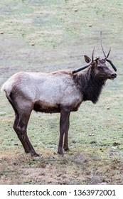 Atypical Bull Elk