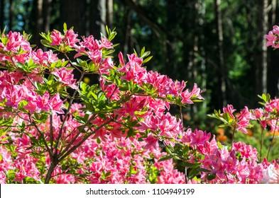 Atzalea hybrid flowering in Rhododendron park in Helsinki