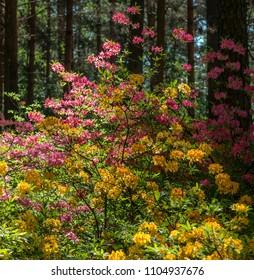 Atzalea hybrids flowering in Rhododendron park in Helsinki
