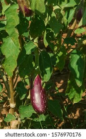 Aubergine or eggplant growing in a vegetable garden. Selective focus.