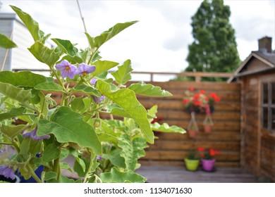 Aubergine plant in a garden