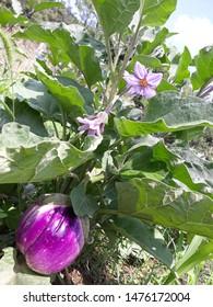 Aubergine violetta di Firenze fruit and flowers