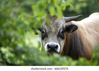 aubrac bull