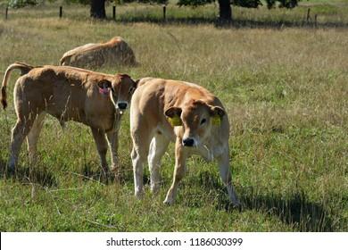Aubrac Cattle in the pasture