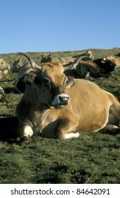 Aubrac cow