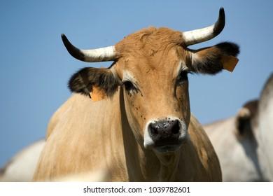 Aubrac cow at pasture