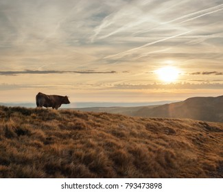 An Aubrac cow standing on a hill looking at the sun rising over the mountain