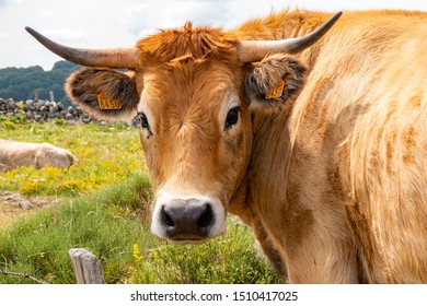Aubrac cow's head in the countryside