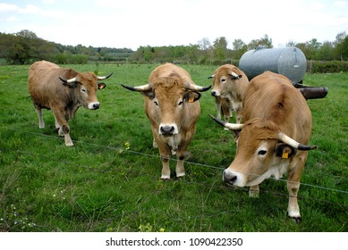 Aubrac cows, in their meadow in Auvergne