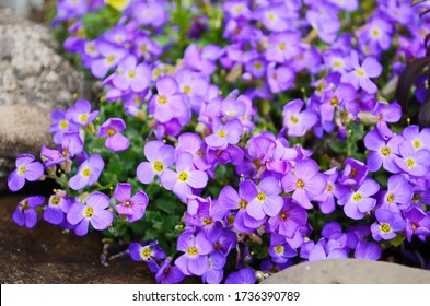 Aubretia or Aubrieta low spreading hardy evergreen perennial flowering plants with multiple dense small violet flowers with yellow center planted in local garden looking as texture or wallpaper