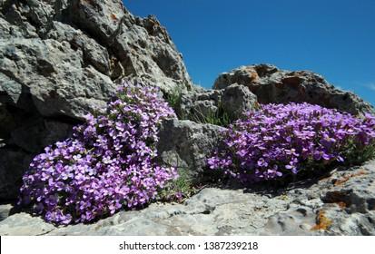 Aubretia flowers in spring  - ( Aubrieta deltoidea)