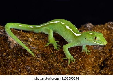 The Auckland green gecko (Naultinus elegans) is a species of gecko found only in the northern half of the North Island of New Zealand.