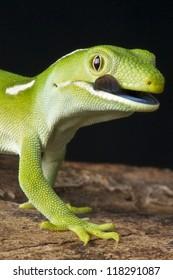 Auckland green gecko / Naultinus elegans elegans